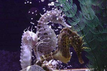 Animal Totem : Hippocampe - (cheval de mer) est un petit poisson vivant au milieu des algues. Son corps est vertical et sa nageoire caudale lui sert de queue pour s'agripper aux algues. Plus surprenant, . quand la femelle pond, elle dépose ses œufs dans la poche ventrale du mâle, qui les couvera jusqu'à éclosion.