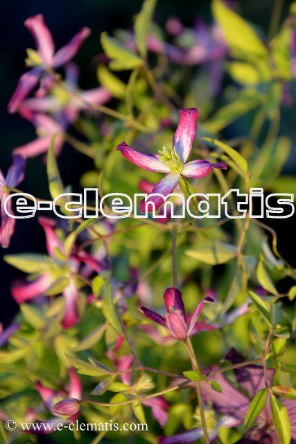 Clematis x triternata 'Rubromarginata' - powojnik potrójny