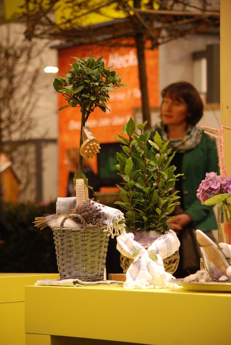 Laurus nobilis (bay tree, bay laurel) hammam