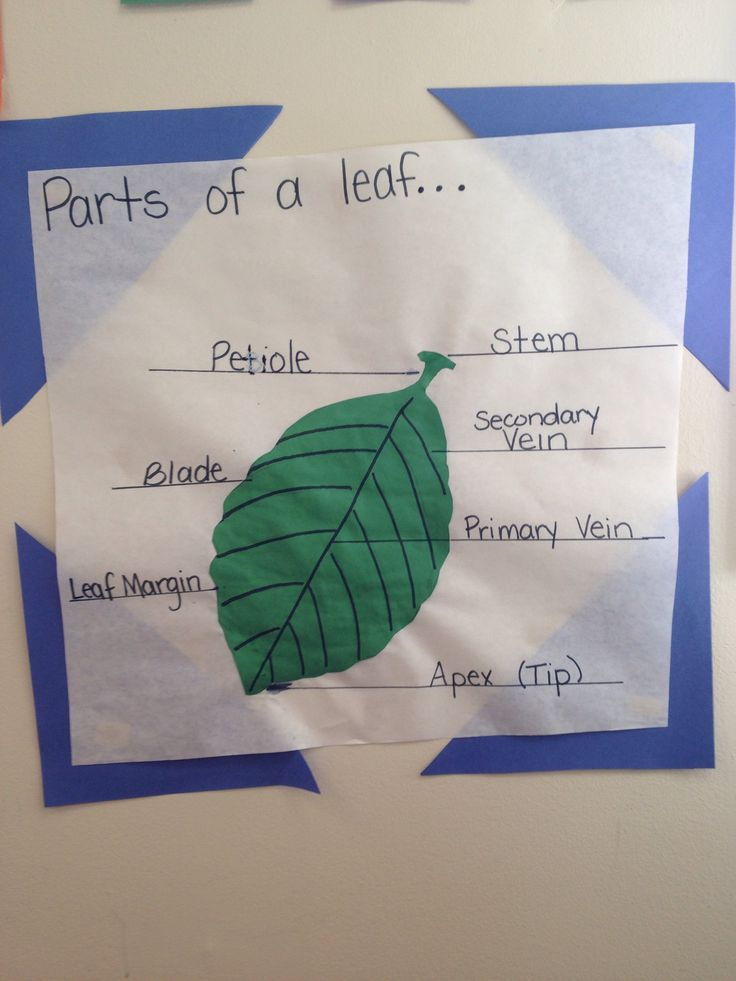Parts of a leaf diagram | Preschool & PreK Science