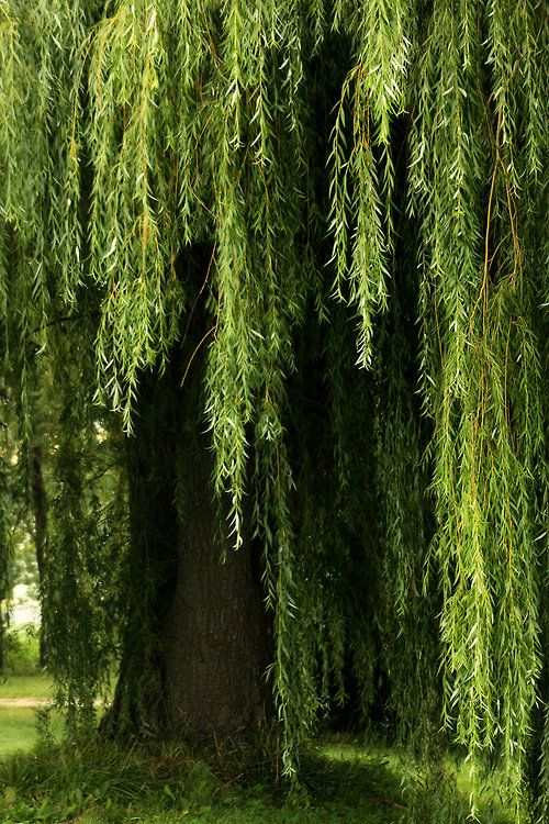 Love! My favourite tree... I so so want a weeping willow in my backyard... I want to hide under the leafy canopy and dream...