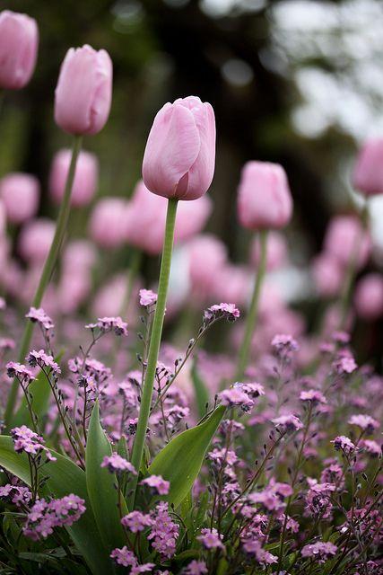 Pink Tulip | Flickr - Photo Sharing!
