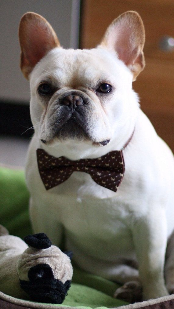 Beautiful Dog Collar Bow Adorable Dog - 474303c729d3ebfc15dde55853cf2b9f--bow-tie-wedding-wedding-dogs  Gallery_100128  .jpg