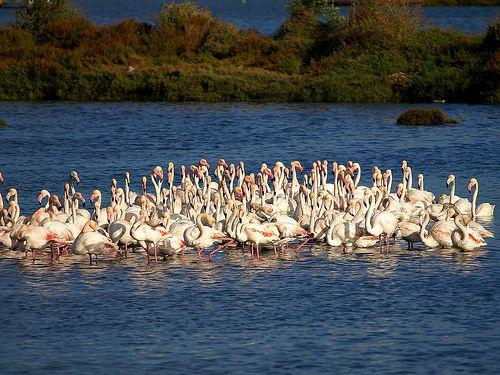 Flamingos no sapal do Seixal...