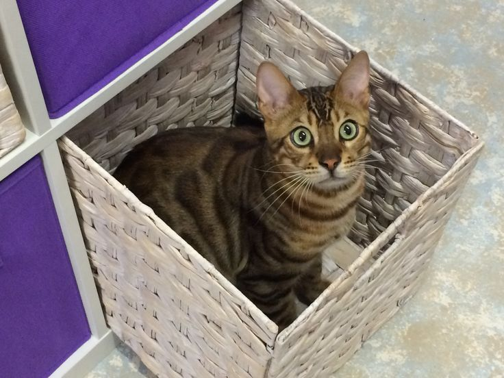 Bengal cat Zeus has to approve anything new and the storage cubes are no exception