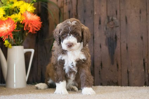 Aussie Poo Puppy For Sale In Cuyahoga Falls Oh Adn 71081 On