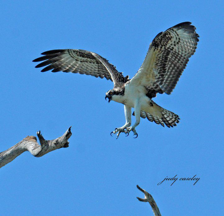 Everglades Osprey - Photography by Judy Caseley