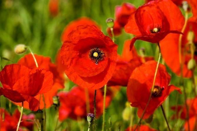 Maki ogrodowe piękne kwiaty w ogrodzie