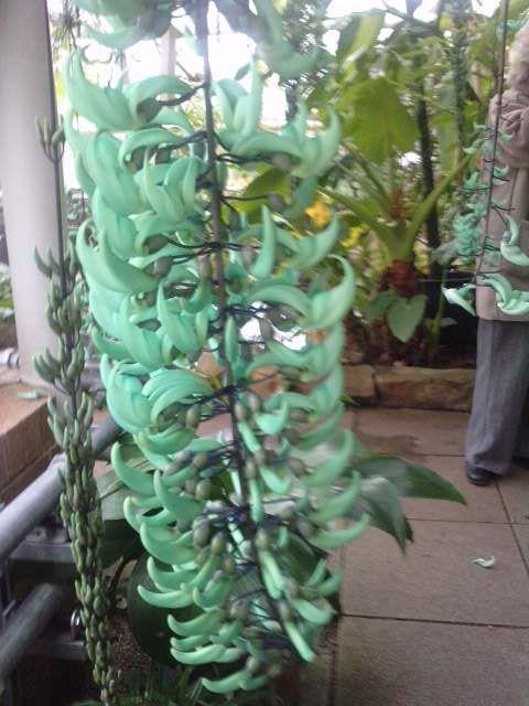 jade vine - 1 chick