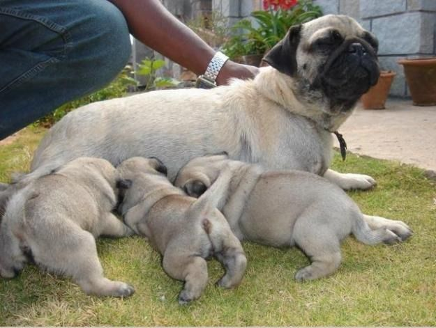 pug puppies for sale price | Zoe Fans Blog