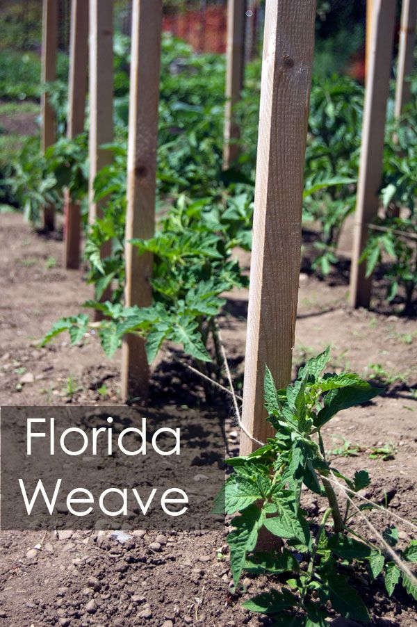 Florida weave for supporting tomatoes - genius! Karen has written a great article for tomato newbies, about removing suckers, pruning leaves, & tying up tomatoes.
