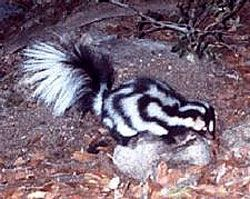 Mexican Spotted Skunk, narrow-headed Spotted Skunk, Southern Spotted Skunk