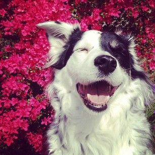 love this. laughing border collie