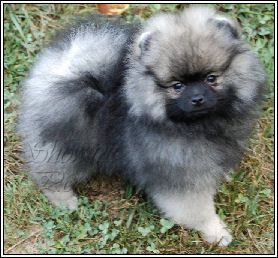 Wolf Sable Pom.  This is my dream puppy