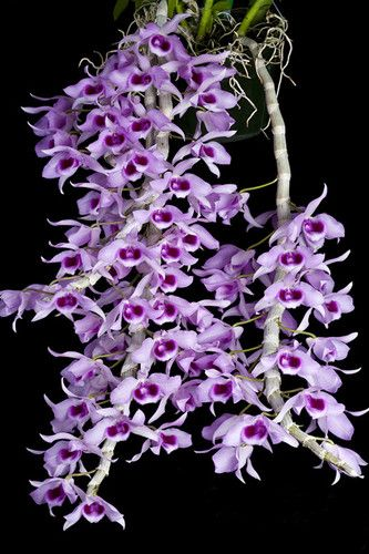 Orchid species Dendrobium anosmum 1 healthy plant Special starting price | eBay