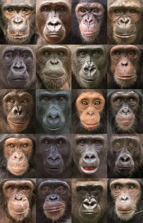 Amazing diversity in chimpanzee, gorilla and bonobo faces.