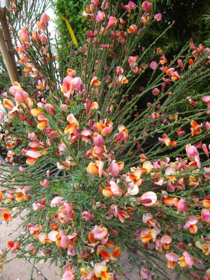 """Close up of Scotch Broom """"Burkwoodii"""" in early summer bloom."""