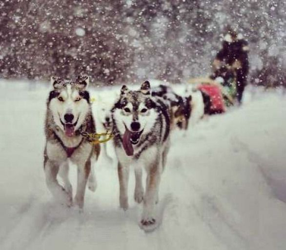 Husky Sledding Finland Get Acquainted With The Huskies On The