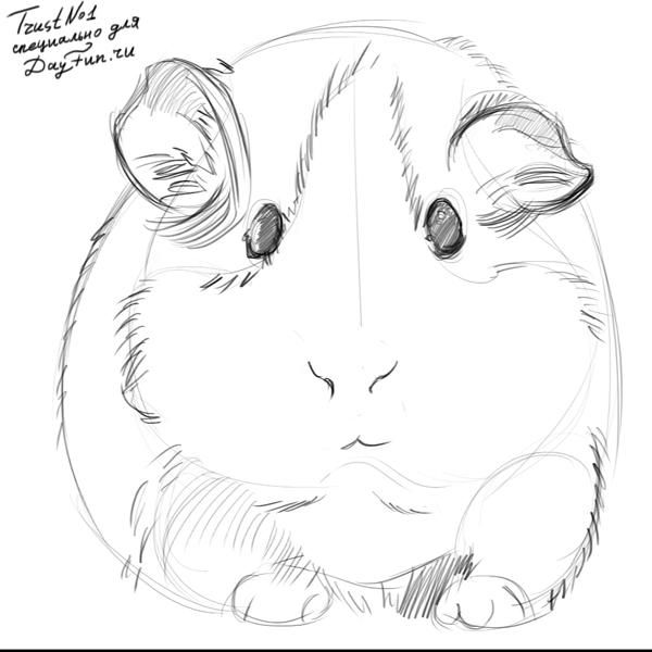 Line Drawing Of A Pig Face : How to draw guinea pig step by g gp
