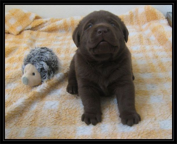 pictures of miniature labradors | Miniature Labrador...