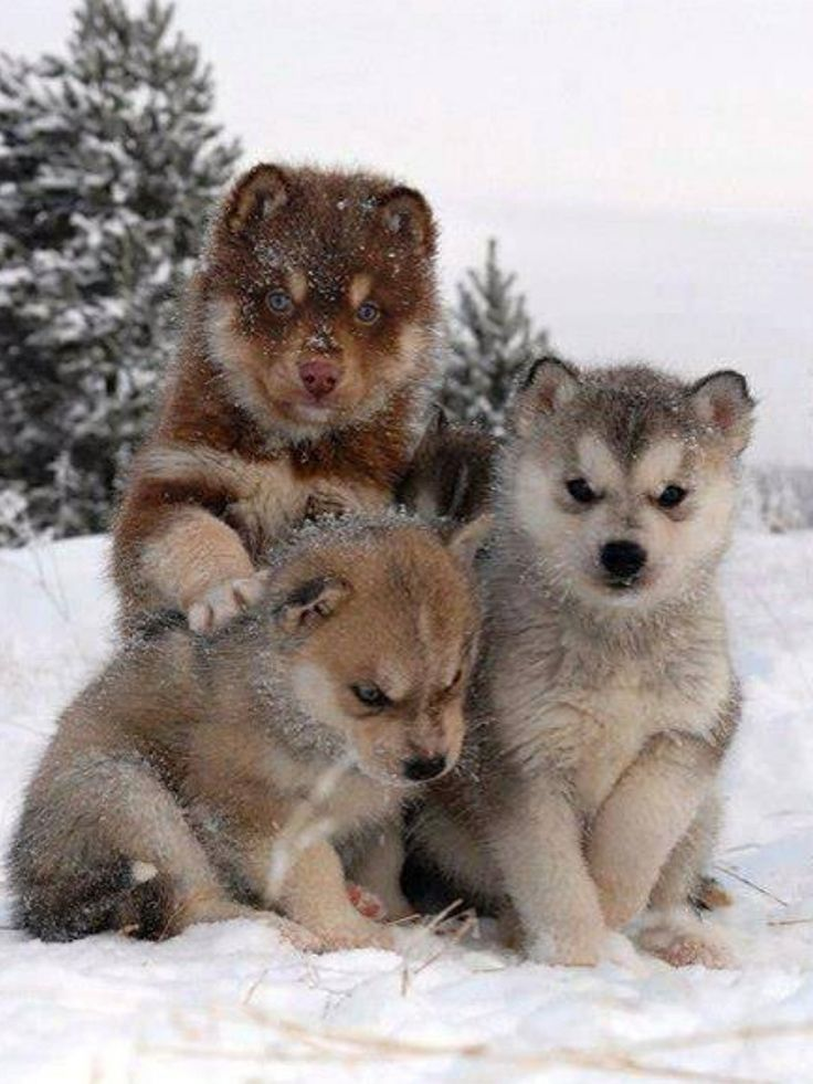 future sled-dogs