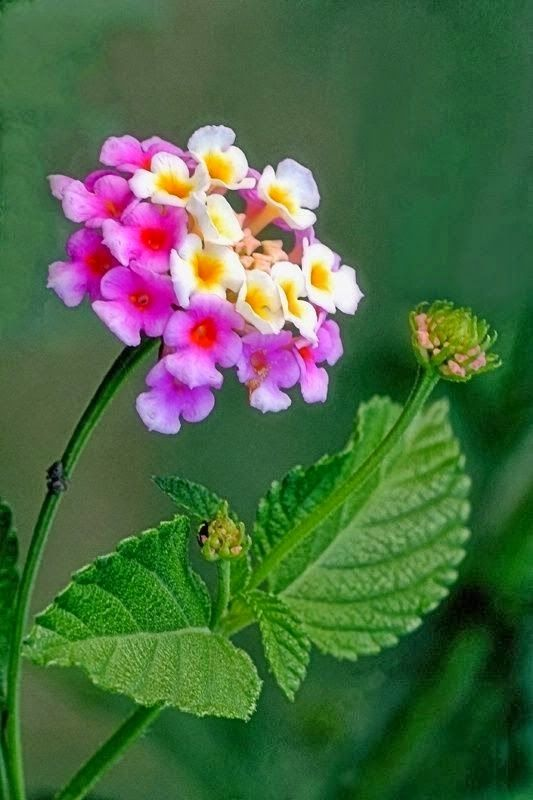 Lantana - musthave for my garden