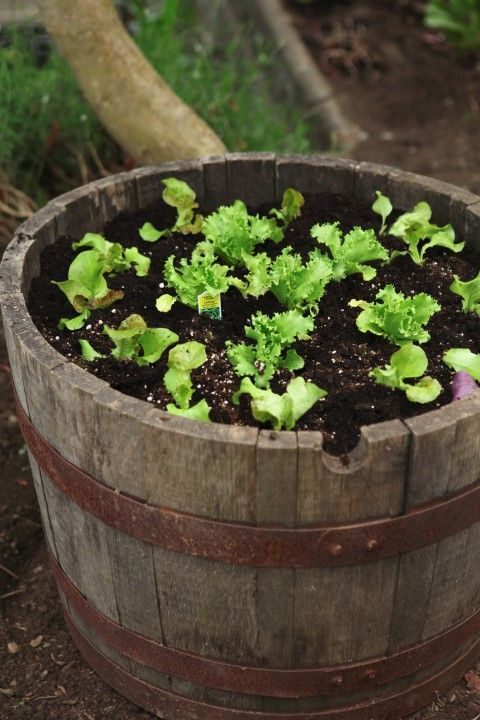Planting Lettuce in a Wine Barrel