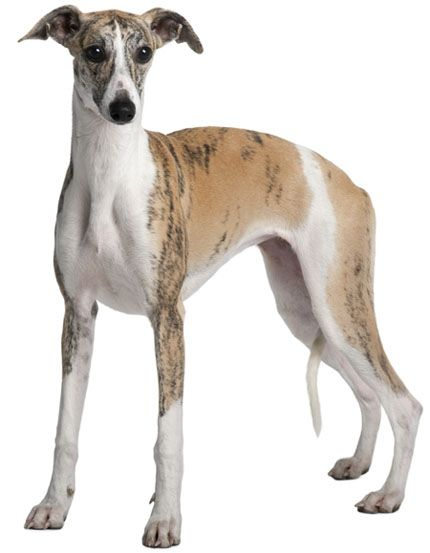 Whippet:   This sleek and speedy sight hound makes an excellent family pet. They are gentle, affectionate, friendly, and easygoing.