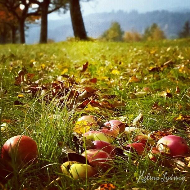 #autumn #autumncolors #foliage #apples #trees #nature #landscape #Herbst #Austria