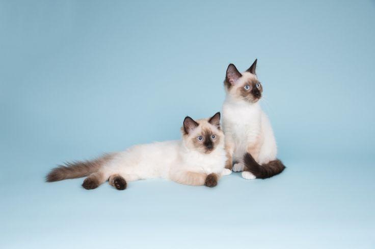 Kattenfotografie Hillegom - Fotoshoot Ragdoll kittens-7