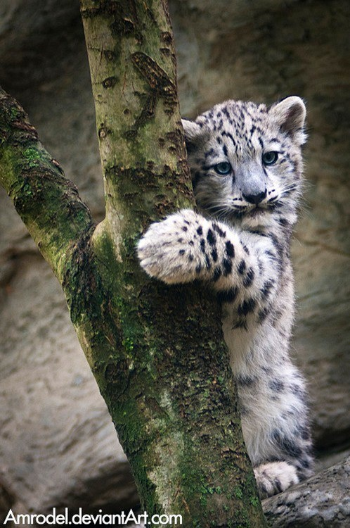 Extremely cute snow leopard (With images) Cute animals