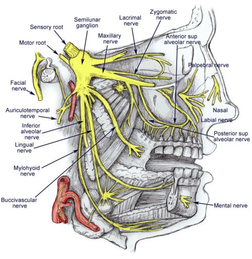 Dental Assisting - Anatomy  www.DentalAssistantStudy.com