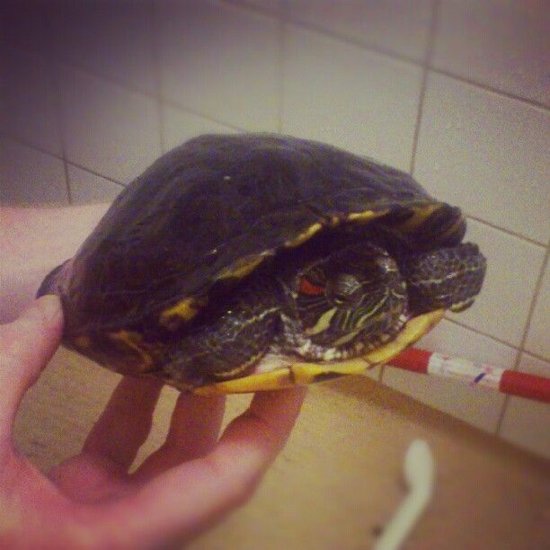 My, soon to be, 26 year old Red-eared slider (#Trachemys #scripta #elegans) Tage getting her tank cleaned and a backrub. #turtle #redeared #slider #reptile