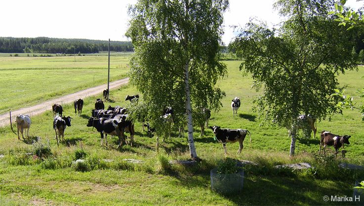Last summer... Cows, Finland