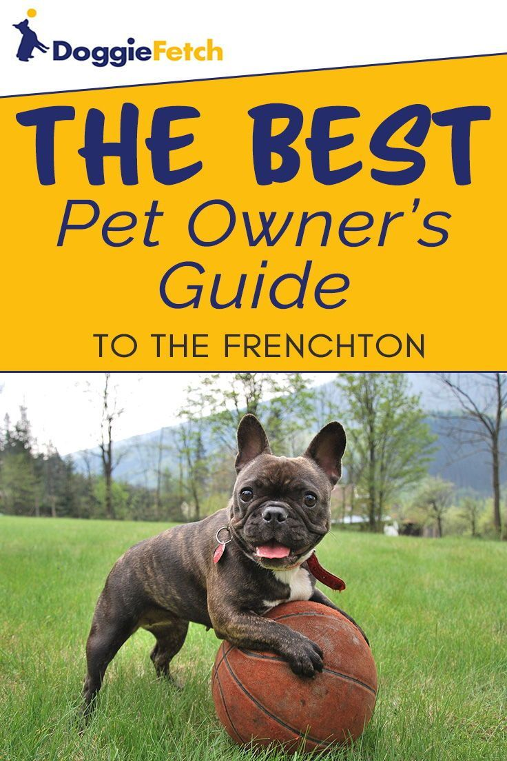 A Pet Owner S Guide To The Frenchton Pets Manchester Terrier
