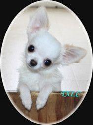 Texas long coats - Home: Pearl, Long Coats, Adorable Puppies