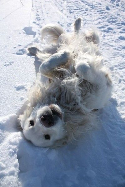 Snow White Golden Retriever - Winter Really Is A Wonderland For These Adorable Animals - Photos