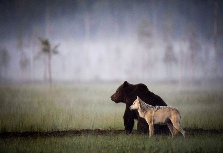 Friends. Finland. 2014 Lassi Rautiainen renowned Finnish wildlife photographer, captures an unusual example of the friendship between the brown bear and wolf.