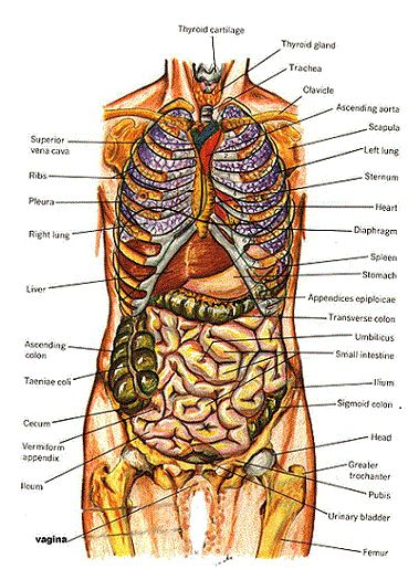 ANATOMY VOCABULARY: terminology in medical fields and often used in other locations for the trunk of the body.