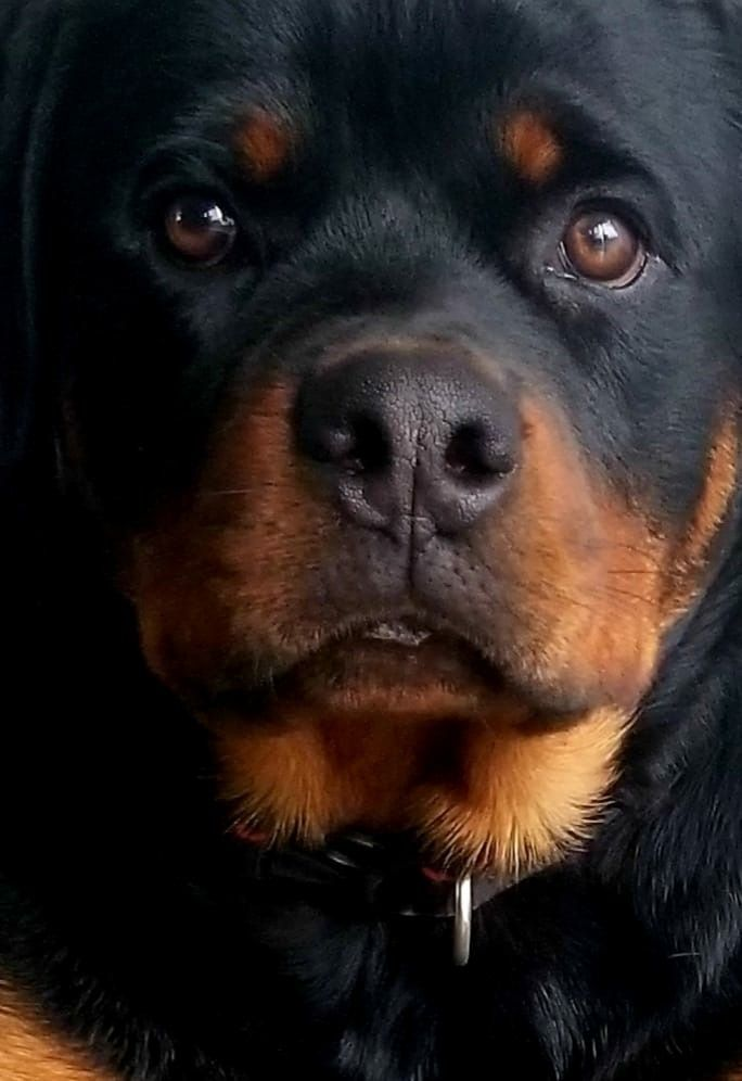 Pin By Mariav Salame On Rotties And Labs Dogs Rottweiler Dogs