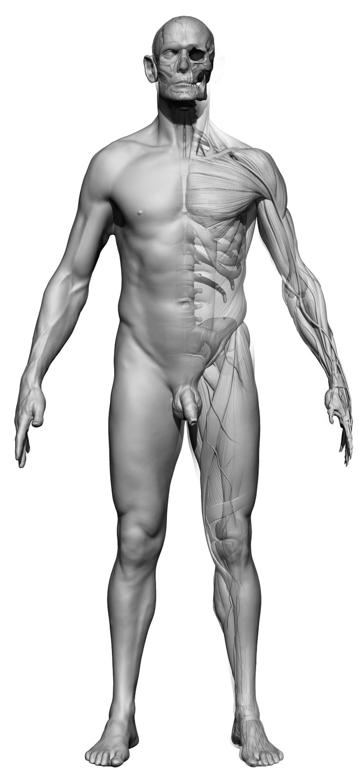 Anatomy 360 — Our first male ecorche model based on a full body...