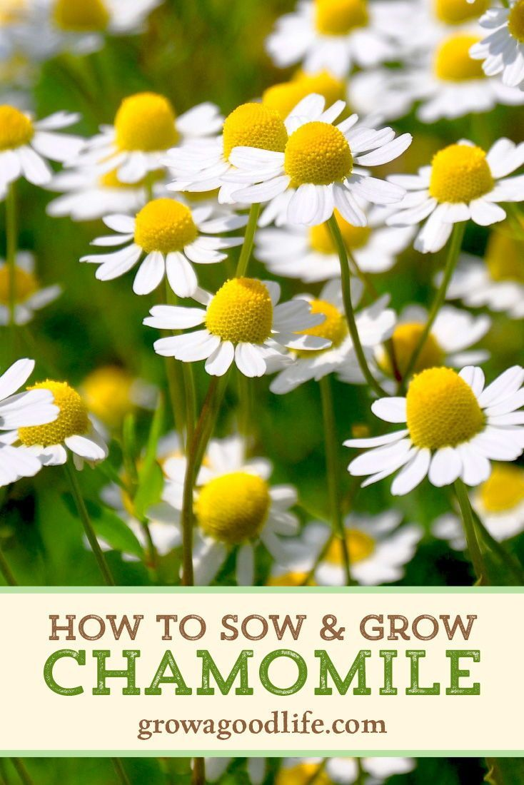 Growing chamomile for tea chamomile growing spring