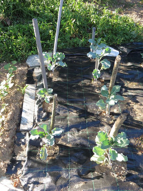 Ortolano a 30 anni: Il progresso di cavoletti e broccoletti