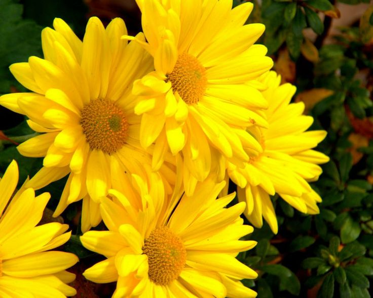 169 best images about flowers daisies dahlias sunflowers for Flowers that look like dahlias