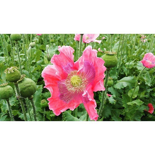 #mohn #poppyseed #waldviertlergraumohn #mohndorf #mohnblume #mohnblüte #armschlag #mohnwirt