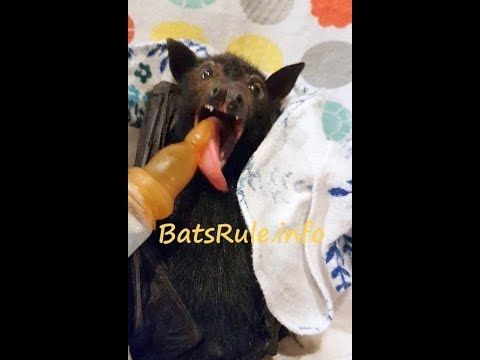 Rehab | Bat baby feeding orphaned Megabat Flying-fox Fruit Bat