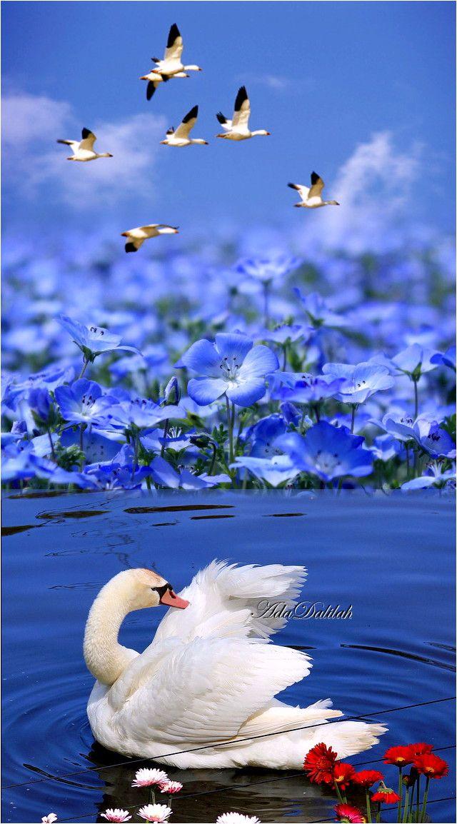 Pin By Ada Dalilah On Swans Art Creative Montage Beautiful Birds Swans Art Beautiful Swan