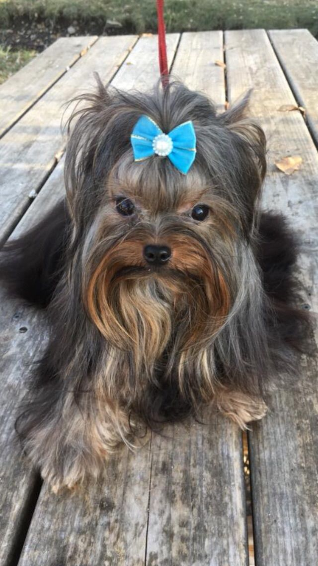 Idea By Cecile Woda On Jagi Monet Yorkie Love Yorkie