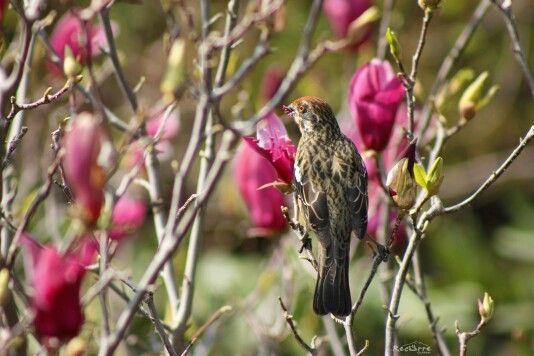 Una Rara comiendo flores de Magnolio,  Santiago, Chile #bird #birdwatching