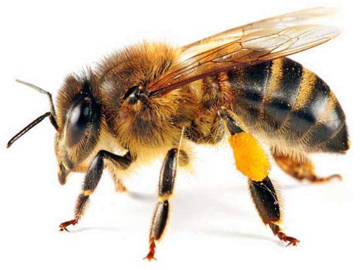 Honeybee.jpg (1024×768)